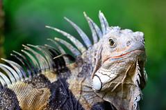 Mandi The Iguana (CAUT) Tags: wild portrait naturaleza southamerica nature animal fauna nikon colombia retrato iguana 2010 reptil cundinamarca d90 suramrica salvaje pealisa americadelsur wildiguana nikond90 faunacolombiana