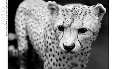 Hold your head up high , (Rawan Mohammad ..) Tags: white black photography nikon photographer photos tiger australia brisbane leopard mohammed saudi arabia tamron mohammad 2010 rn  holdyourheaduphigh rawan        d300s rnona     almuteeb