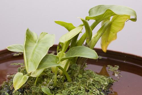 Zantedeschia sp. (White Arum Lily)