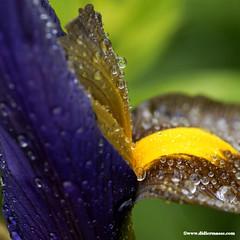 Perles de rosée sur un iris 2 (didier95) Tags: iris macro fleur couleur rosee gouttes perlesderosee