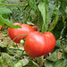 """tomato • <a style=""""font-size:0.8em;"""" href=""""http://www.flickr.com/photos/52479745@N06/5126766412/"""" target=""""_blank"""">View on Flickr</a>"""