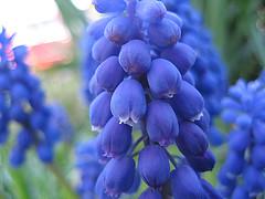 Grape Hyacinths (Ankar60) Tags: flowers blue spring sweden swedish sverige blommor grape vr bl smrgsbord hyacinths