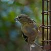 not zombie (nosha) Tags: usa green bird nature beautiful beauty birds yellow gold newjersey nikon goldfinch nj mercer finch molt avian mercercounty pennington 2010 molting nosha