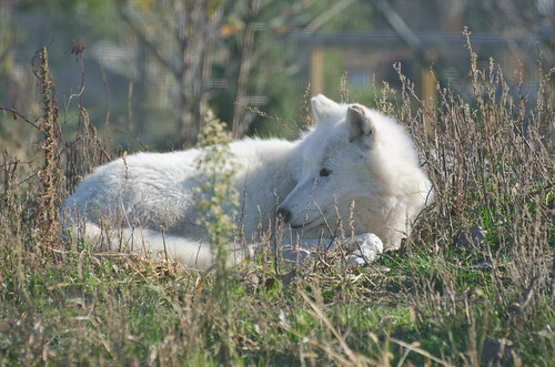 Artic Wolf Watching