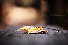 Leaf [Explore #15 & FP] (Gary Ngo | Photography) Tags: autumn fall leaf nikon dof bokeh maryland explore frontpage f28 vr 105mm photographyblog d7000 sonyphotochallenge nikonfacebook