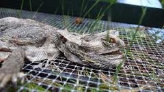 Death Study (Agamid) Tags: leica animal female digital dead death reptile central australia lizard bones canberra corpse inland act beardeddragon rotted pogonavitticeps dlux3