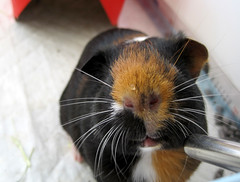 i drink water like a pro (sereneonion) Tags: water nose guinea pig cavy lips whiskers