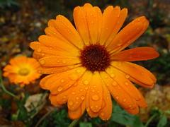 De Groote Peel (bezoekerscentrum) (ToJoLa) Tags: autumn orange flower rain canon herfst oranje limburg 2010 asten degrootepeel masterphotos canong10 mijlop7