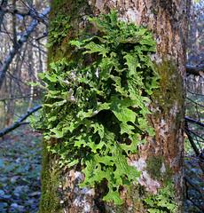 Lobaria pulmonaria (Juan_Sanchez) Tags: lichen vercors pulmonaria isère lobaria gorgesdeecouges