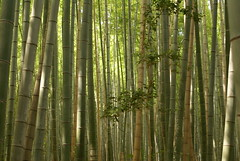 DSC09964 (hellothomas) Tags: green japan kyoto bamboo