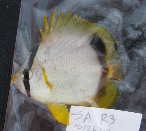 spotfin_butterflyfish