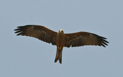 senegal dakar aguila eagle