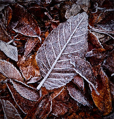 First Autumn frost (jannimac1) Tags: autumn leaves leaf frost tints frostyleaves