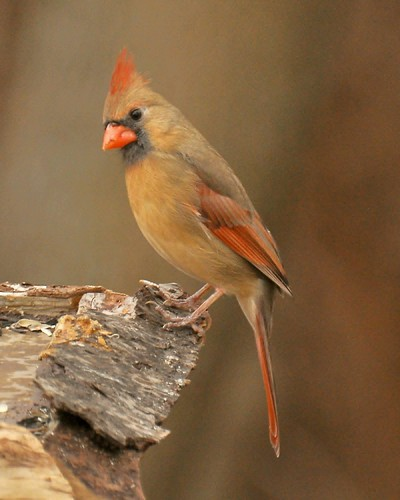Female Northern Cardinal - Cardinalis cardinalis