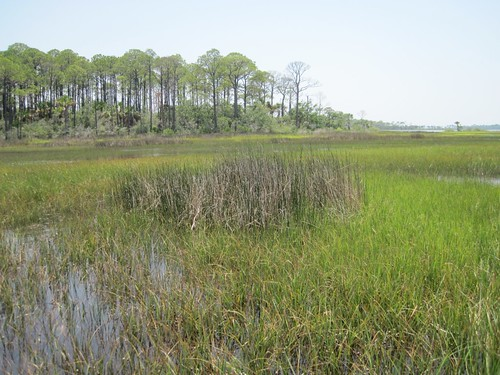 A patch of needlerush surrounded by cordgrass