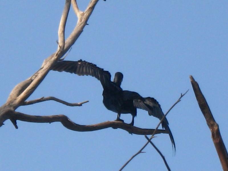 20-11-2010-cormorant19