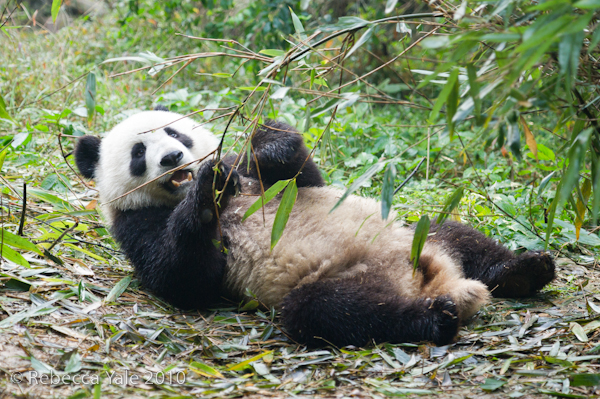 RYALE_Sichuan_Panda_13