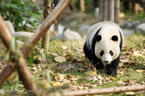 RYALE_Sichuan_Panda_36