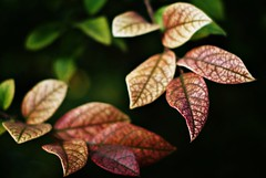.leaves. ({ pranav }) Tags: photography pranav krishlikesit