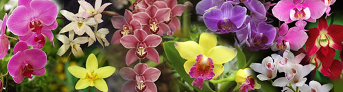 orchids-banner