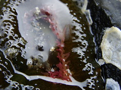 Sea Anemone (NW Tree Hugger) Tags: nature marine lowtide seaanemone
