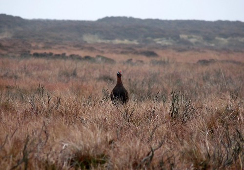 23699 - Red Grouse, Ilkley Moor