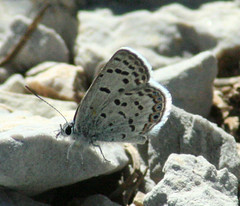 Mt Charleston Blue Butterfly on rock Photo