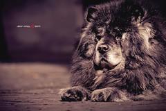 Hairy (Jeff Krol) Tags: street city portrait hairy dog holland netherlands hair utrecht domtoren dof pentax k20 135mm k20d pentaxk20d jeffkrol hoomark pentaxsmcpa135mmf25