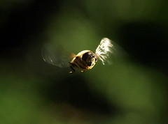 Hoverfly in flight (Mr Grimesdale) Tags: insects hoverfly flyinginsects stevewallace britishinsects hoverflyinflight mrgrimesdale elitebugs