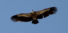 Bird of Prey Migrating North over Gibraltar (Chicken Piri-Piri) Tags: birds gibraltar birdsofprey migratorybirds