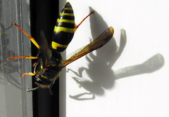 wasp with shadow + ( the-best-is-yet-to-come ) Tags: ohhh abigfave anawesomeshot beautifulmonsters mirrorser mygearandme ringexcellence blinkagain