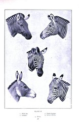 Animal-Animal-head-Zebras (antonio alves - aj station) Tags: animal animalhead face zebra stripes genetics 19thcentury blackandwhite