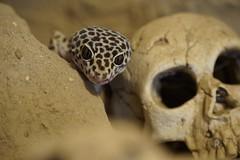 20170627X1916_Leopardgecko_0085 (RascheBilder) Tags: leopardgecko raschebilder