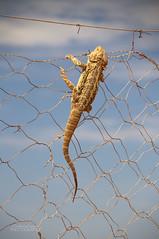 Escape! (ChrisKirbyCapturePhotography) Tags: beardeddragon reptile lizard australianreptile australia warrigate wilddogfence fence reptilianbehaviour