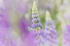 Give Me The Song Inside Your Soul (Anna Kwa) Tags: lupine lupin lupines faboideae flower bokeh art macro nature annakwa nikon d750 afsvrmicronikko105mmf28gifed my song love always words seeing heart soul throughmylens wordlesssong life destiny lost memories wmh gardensbythebay flowerdome wild holdustogether whatmatters seeingwithheart fate