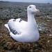 Albatros. Wandering, sooty, grey-headed