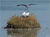 P6048572si (Henri Dedun) Tags: échasse blanche mouette rieuse bird oiseau
