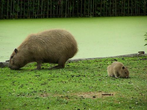 Capibara's