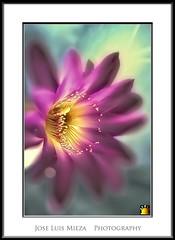 Afrodita (Para mis queridisimos amigos) (Jose Luis Mieza Photography) Tags: flowers flores flower fleur fleurs flor benquerencia florews reinante jlmieza reinanteelpintordefuego joseluismieza