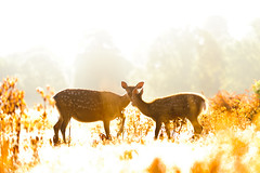 is this what heaven looks like? (andrew evans.) Tags: lighting morning light summer england sun white mist nature misty fairytale sunrise golden countryside kent nikon bokeh wildlife warmth deer ethereal wonderland storybook magical 70200 f28 enchanted d3