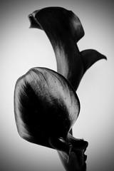 "Calla B&W (The Ross Project) Tags: bw flower calla naturesfinest blackwhitephotos mywinners anawesomeshot diamondclassphotographer flickrdiamond theunforgettablepictures theperfectphotographer rubyphotographer ""flickraward"