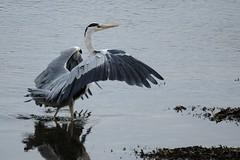 Just Landed. (stonefaction) Tags: nature birds scotland fife wildlife centre estuary hide eden faved guardbridge