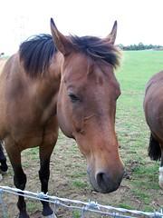 Horse 1 (Peter O'Connor aka anemoneprojectors) Tags: horse animal mammal letchworth hertfordshire equine equus letchworthgardencity equusferus equusferuscaballus