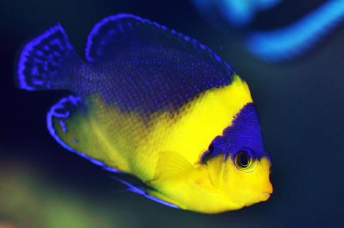 Venustus Angelfish....difficult? - Reef Central Online ...