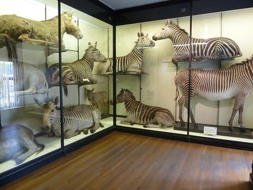 Zebras at Tring