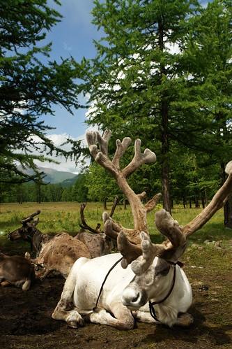 Reindeer Family in Khovsgol Lake 庫蘇古勒湖區 Day 2