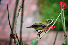 Olive-backed Sunbird, Female (badzmanaois) Tags: yellowbellied sunbird cinnyrisjugularis olivebacked
