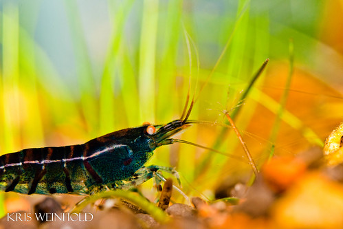 Blue Tiger Shrimp