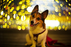 new camera? (moaan) Tags: leica light dog color smile smiling yellow digital pose 50mm corgi nightlights dof bokeh walk illuminations posing f10 kobe utata noctilux welshcorgi stroll hue starry starlet 2010 m9 pochiko leicanoctilux50mmf10 leicam9  gettyimagesjapanq1 gettyimagesjapanq2