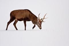 Red Deer in the Snow (vlad259) Tags: white snow nature animal mammal scotland natural wildlife deer hart highkey ungulate reddeer ruminant cervuselaphus